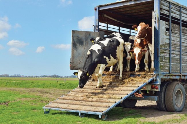 livestock-hauling-10-amazing-things-you-want-to-know-1